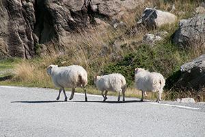 Schafe_2388